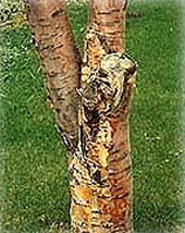 The Symptoms Of This Disease Are Yellow Or Orange Brown To Black Discolored Areas On Bark Trunk And Branches Liquid Ooze Aspen Gummy